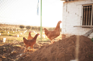 Free-range chickens at the springs homestead
